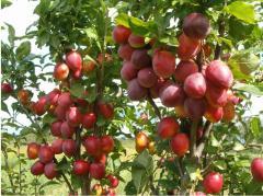 Плодовые деревья (яблони, груши, сливы, черешни, персики)