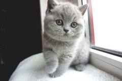 Породистые британские котята питомник LV*RAYS OF HOPE